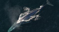 velryba