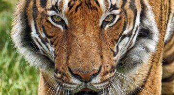 tygr malajský