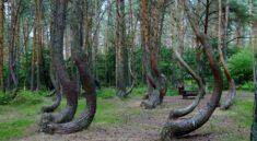 křivý les